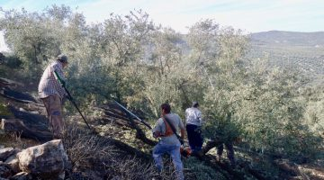 recogida olivas
